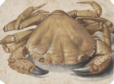 Yengeç, 1495