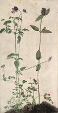 Üç Şifalı Bitki, 1526