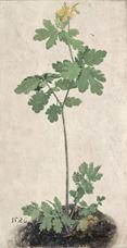 Kırlangıç Otu, 1526