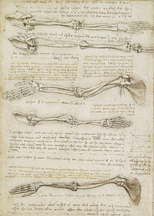 Biseps kasının belirlediği kol hareketi, 1508-1510 dolayları picture