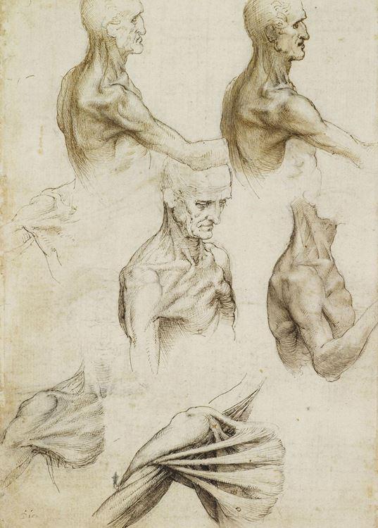 Hareket halindeki omuz, boyun ve göğüs kasları, 1508-1510 dolayları picture