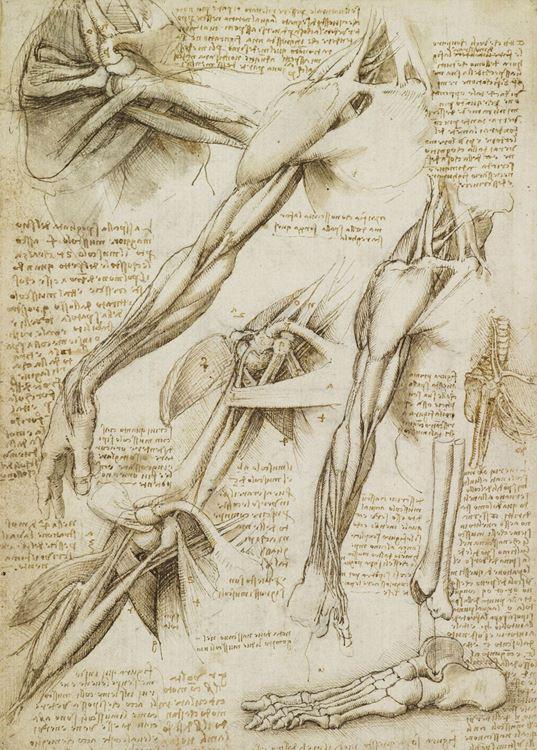 Üç farklı kesitte resmedilmiş omuz kasları; ayak kemiği, 1508-1510 dolayları picture