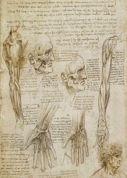 Kol, el ve yüz kasları, 1509-1510 picture