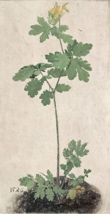 Kırlangıç Otu, 1526 picture