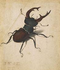 Geyikböceği, 1505
