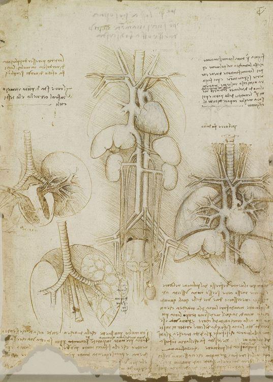 Göğüs ve karındaki iç organlar, 1506-1508 picture